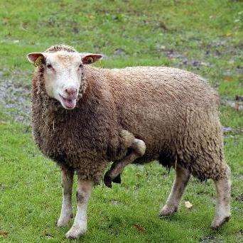 Een Franse boer biedt dit schaap met vijf poten te koop aan. Hij wil 't dier niet naar de slacht brengen en hoopt dat een kinderboerderij het schaap aankoopt.